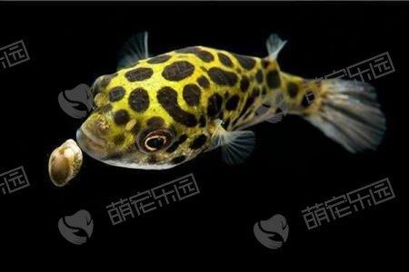 潜水艇鱼该怎么养?
